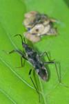 Lygaeidae - Ryparochrominae - 12 mm - Puraran - 24.2.2017