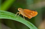 Hesperidae - Hesperinae - Prusiana prusias matinus - Fruhstorfer, 1911) - 23 mm - Bulusan lake - 28.2.2017