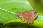 Hesperiidae - Hesperinae - Psolos fuligo fuligo (Mabille,1876) - 20 mm - Bulusan lake - 28.2.2017
