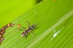 Lygaeidae - Ryparochrominae - 11 mm - Bulusan lake - 28.2.2017
