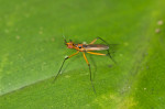 Neriidae - 5 mm - Bulusan lake -
