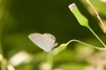 Lycaneidae - Lycaeninae - Polyommatini - Euchrysops cnejus cneius - (Fabricius,1798) - 18 mm - Romblon - 19.3.2017