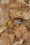 Blattellidae - 10 mm - Romblon - 19.3.2017