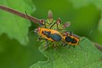 Pyrrhocoridae - Dysdercus - 13 mm - Romblon - 20.3.2017
