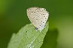 Lycaneidae - Lycaeninae - Polyommatini - Zizeeria karsandre - (Moore, 1865)15 mm - Romblon - 20.3.2017