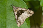Erebidae - Hypeninae - Hypena cf. gonospilatis - 18 mm - Romblon - 21.3.2017