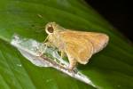 Hesperiidae - Hesperinae - Parmara kawawoei ( Chiba & Eliot, 1991 ) - 23 mm - Magdiwag - 22.3.2017