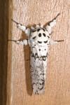 Notodontidae - Notondontinae - Kamalia rosea - 30 mm long - Magdiwag - Sibuyan - 25.3.2017