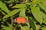 Nymphalidae - Danainae - Danaini - Danaus chrysippus chrysippus - (Linnaeus, 1758) - Puerto Princessa - 11.2.2014