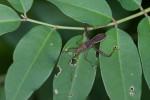 Alydidae - 13 mm - Puraran - 13.10.2017