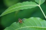 Syrphidae - Mesembrius bengalensis - 9 à 10 mm - Puraran - 14.10.2017