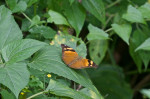 Nymphalidae - Nymphalinae - Nymphaliini - Doleschallia bisaltide philippensis - (Frushtorfer, 1899) - 70 mm - Puraran - 14.10.2017
