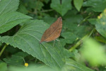 Nymphalidae - Nymphalinae - Doleschallia bisaltide philippensis - 70 mm - Puraran - 14.10.2017
