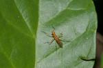 Neriidae - 7 mm - Puraran -14.10.2017