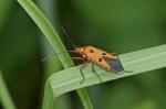 Pyrrhocoridae - Dysdercus cingulatus (Fabricius, 1775) - 13 mm - Cajidiocan - Sibuyan - 28.6.2016