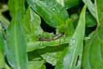 Alydidae - 13 mm - Puraran - 16.10.2017