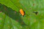 Pyrrhocoreidae - Dysdercus - Juvénile - 12 mm - Puraran - Catanduanes - 16.10.2017