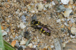 Crabonidae - Bembicinae ? - Femelle - 10 mm - Talipanan - 5.11.2017