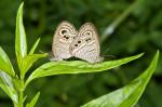 Nymphalidae - Satyrinae - Ypthima stellera stellera - (Eschscholtz,1821)  30 mm - Talipanan - Mindoro - 7.11.2017