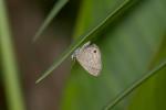 Lycaneidae - Lycaeninae - Polyommatini - Prosotas dubiosa subardates - (Piepers & Snellen,1918) -  20 mm - Talipanan - Mindoro - 7.11.2017