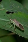 Coreidae - Homoeocerus - 14 mm - Talipanan - 7.11.2017