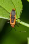 Pyrrhocoridae - Dysdercus - 12 mm - Talipanan - Mindoro - 8.11.2017