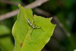 Reduviidae - Emesinae - 12 mm - Talipanan - Mindoro - 8.11.2017