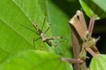 Reduviidae - Emesinae - 15 mm - Talipanan - Mindoro - 8.11.2017