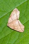 Geometridae - Ennominae - Hypochrosini - Achrosis sp - 18 mm - Talipanan - 15.11.2017
