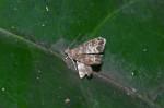 Choreutidae - Brenthiinae - Brenthia sp -  9 mm - Talipanan - 16.11.2017