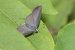 Lycaenidae - Lycaeninae - 35 mm - Talipanan - 16.11.2017