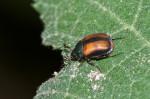 Scarabaeidae - Melolontinae - 4 mm - Talipanan - 16.11.2017