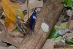 Nymphalidae  - Nymphalinae - Nymphaliini - Hypolimnas bolina philippensis - Femelle - Butler,1874) - 90 mm - Talipanan - 16.11.2017