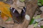 Nymphalidae - Nymphalinae - Nymphaliini - Hypolimnas bolina philippinensis - Femelle - 90 mm envergure - Talipanan - 16.11.2017