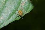 Curculionidae - 7 à 8 mm sans le rostre - Talipanan - 29.11.2017