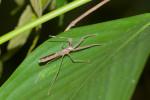 Reduviidae - Emesinae - 17 à 18 mm - Talipanan - 29.11.2017