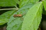 Reduviidae - Harpactorinae ? -  13 mm - Talipanan - 29.11.2017
