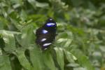 Nymphalidae - Nymphalinae - Hypolimnas bolina - 40 mm - Real - 20.12.2017