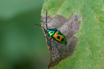 Scutelleridae - Chrysocoris sp - 14 mm - Real - 20.12.2017