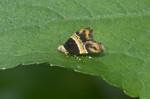 Choreutidae - Choreutinae - Choreutis sp - 8 mm - Real - 24.12.2017