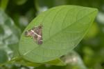 Crambidae - Spilomelinae - Spoladea recurvalis - 20 mm envergure - Talipanan - Mindoro - 28.11.2017