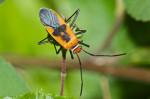 Pyrrhocoridae - Dysdercus - 12 mm - Talipanan - 28.11.2017