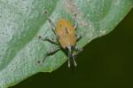 Curculionidae - 7 à 8 mm ( sans le rostre ) - Talipanan - 29.11.2017