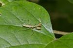 Mantidae - 20 mm - Talipanan - 1.12.2017