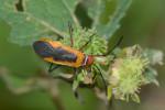 Pyrrhocoridae - Dysdercus - 12 mm - Talipanan - 2.12.2017