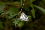 Nymphalidae - Danaidae - 60 mm envergure - Talipanan - Mindoro - 6.12.2017