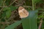 Nymphalidae - Nymphalinae - Heliconiini - Cupha arias arias - C & R Felder 1867 - 45 mm - Talipanan - 21.3.2018
