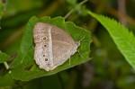 Nymphalidae - Satyrinae - Mylesis igoleta igoleta - C & R Felder, 1863 - 40 mm - Real - 3.4.2018