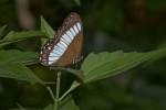 Nymphalidae -Satyrinae -  Zethera pimplea pimplea - Erichson 1834 - Real - 5.4.2018