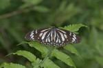 Nymphalidae - Danainae - Danaini - Danaus melanippus edmondii - Lesson 1837 - 80 mm - Real - 5.4.2018